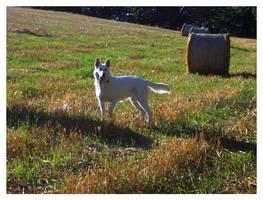White Swiss Shep. Aria