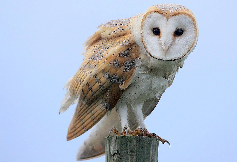 Barn Owl by oriniity