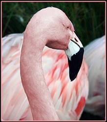 Pink by drumstixrlz