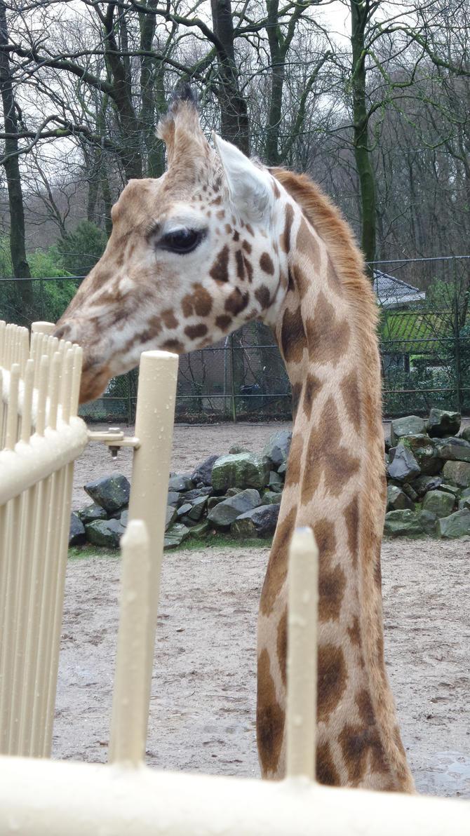 giraffe by kmd27