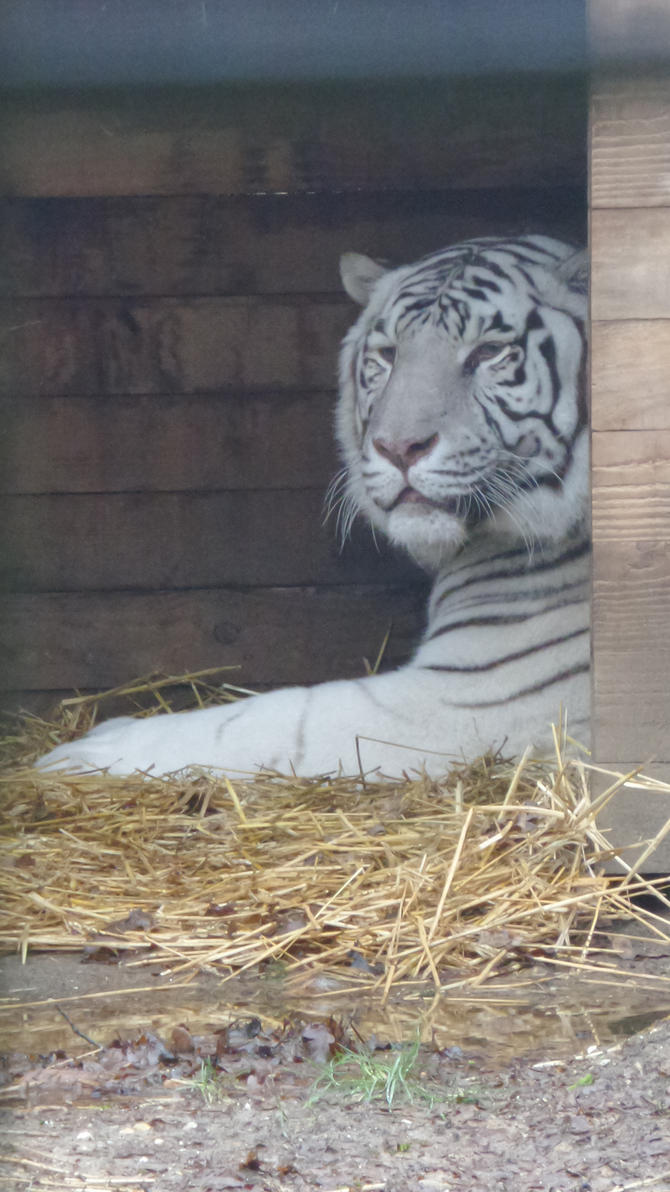 tigre1 by kmd27