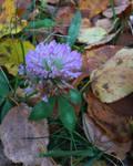 Autumn Clover
