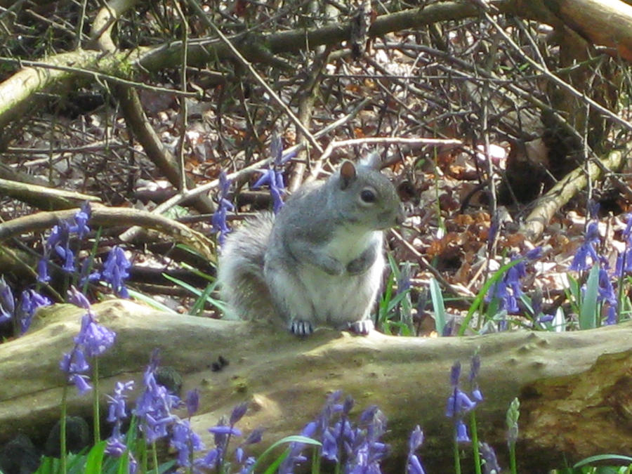 Bluebell Squirrel by argeiphontes
