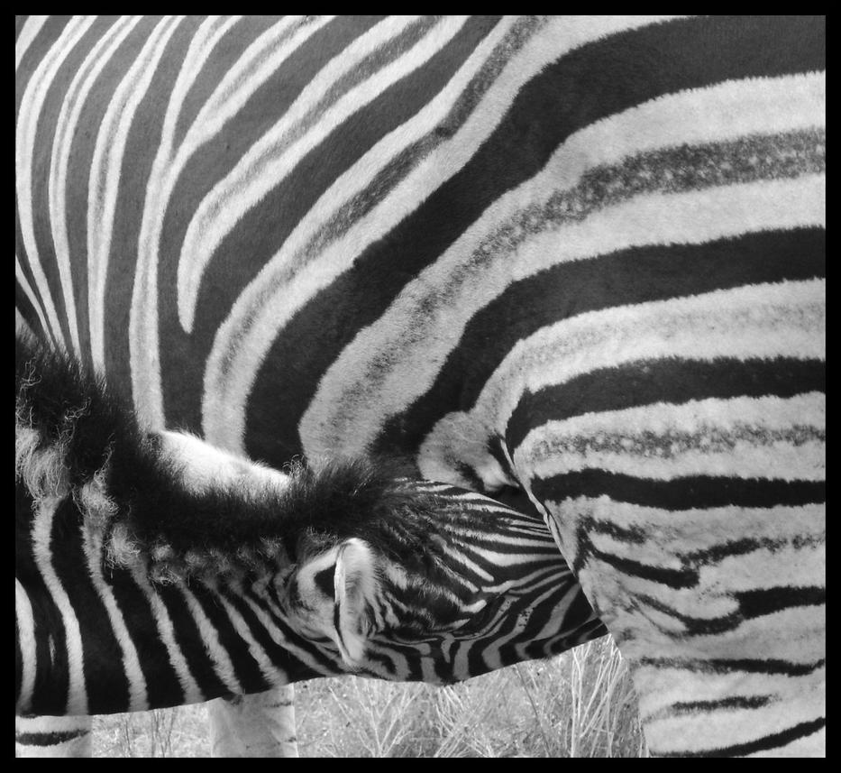 Baby Zebra by SuroboruS