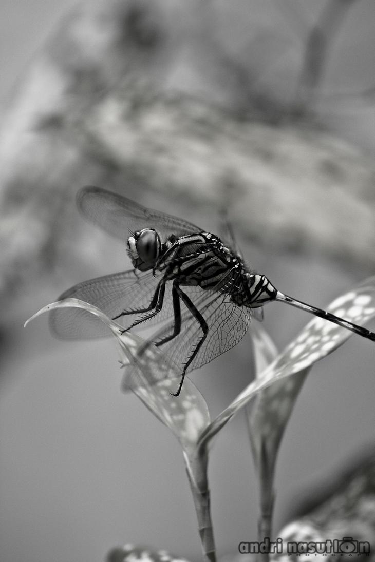 dragonfly by andriNASUTION