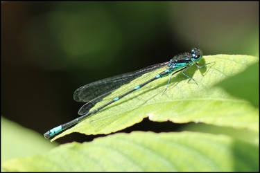 Blue Dragofly by ToxTheErisian
