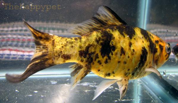 Yellow shubunkin goldfish by thehappypet on deviantart for Shubunkin fische