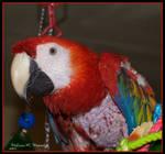 RedbirdRedbird The Scarlet Macaw