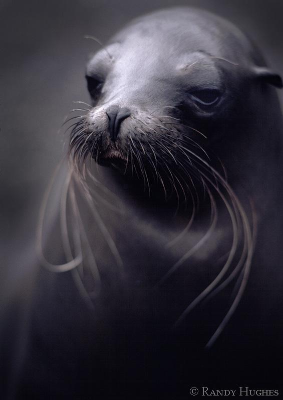 Sea Lion by RandyHughes