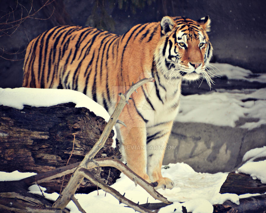Amur Tiger by TiffyLiz