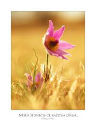 Nejen slunecnice kazdym dnem... by orchidka