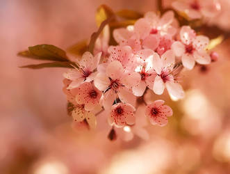 Pink florets by orchidka