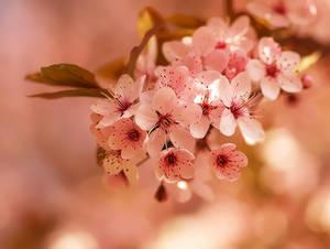 Pink florets