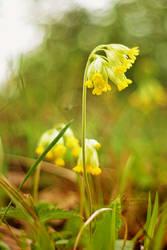 Primrose by orchidka