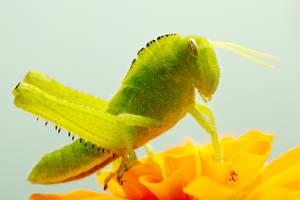 equine grasshopper by raido-ehwaz