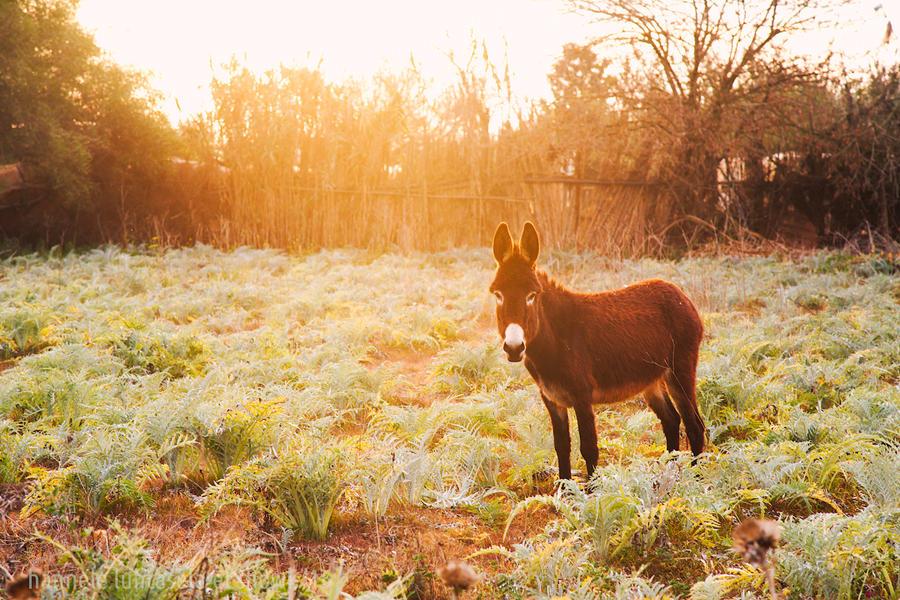 sunset donkey by raido-ehwaz