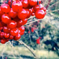 Berries 3 by Ravenveer