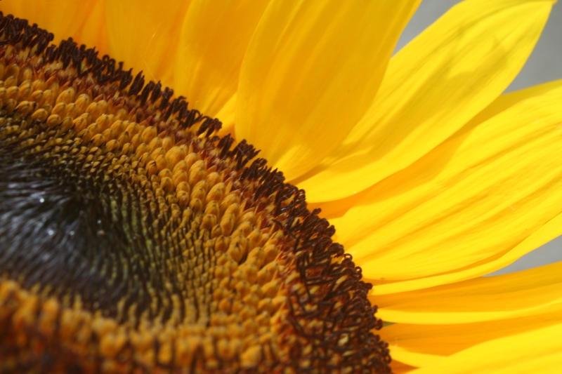 Sunflower Zoom by Nirr