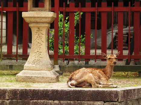 A Deer Relaxing in Miyajima