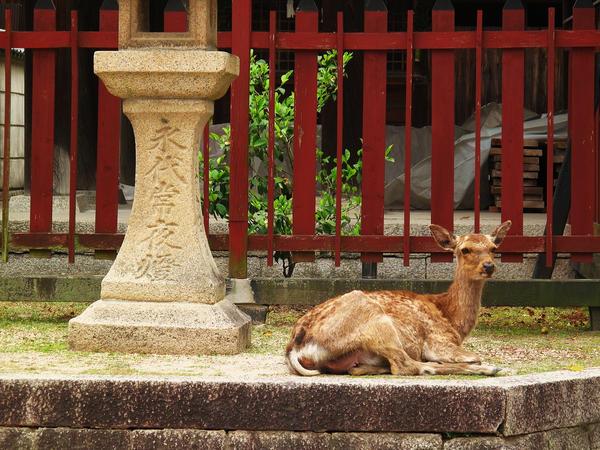 A Deer Relaxing in Miyajima by misspez