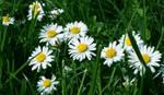 daisy by Seelentraum