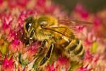 Honey Bee XVII