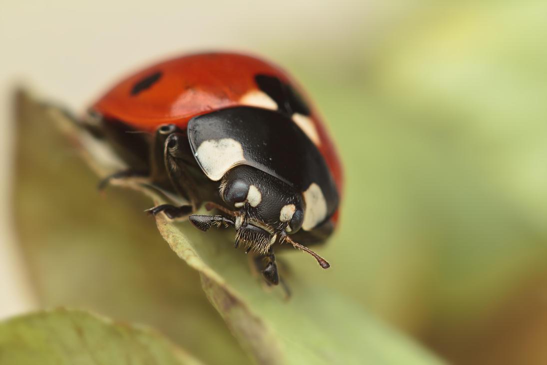 IMAGE: http://th01.deviantart.net/fs70/PRE/i/2011/362/9/a/7_spot_ladybird_xxvi_by_snomanda-d4kgmdw.jpg