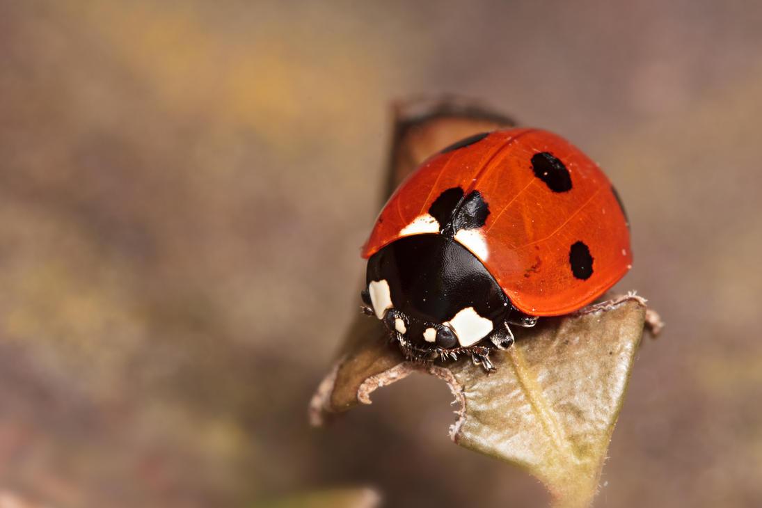 IMAGE: http://th02.deviantart.net/fs71/PRE/i/2012/061/9/7/7_spot_ladybird_xxxi_by_snomanda-d4rh2er.jpg