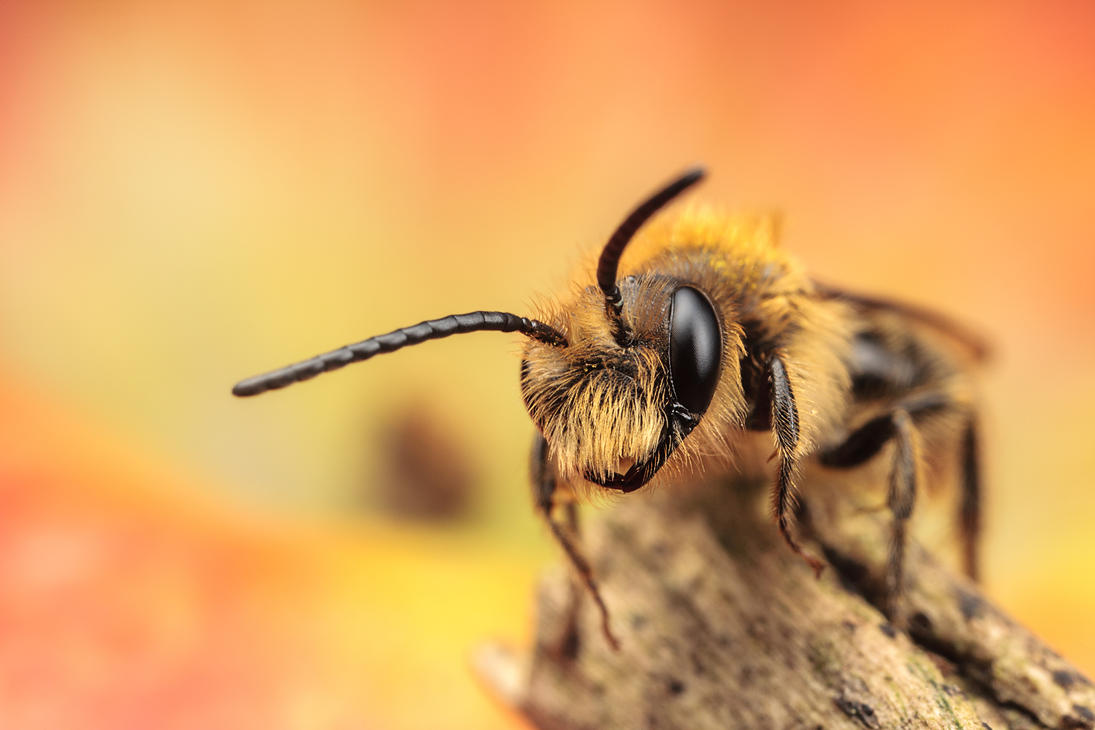 IMAGE: http://th06.deviantart.net/fs70/PRE/i/2013/130/6/f/solitary_bee_by_snomanda-d64roih.jpg