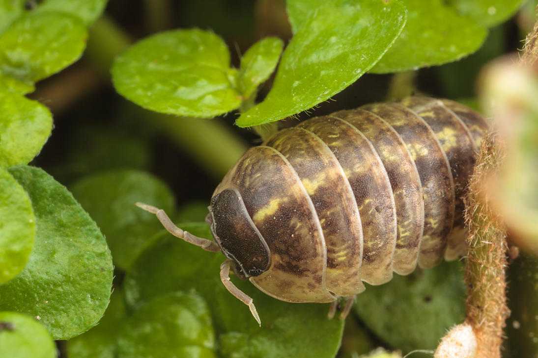 how to catch pill bugs