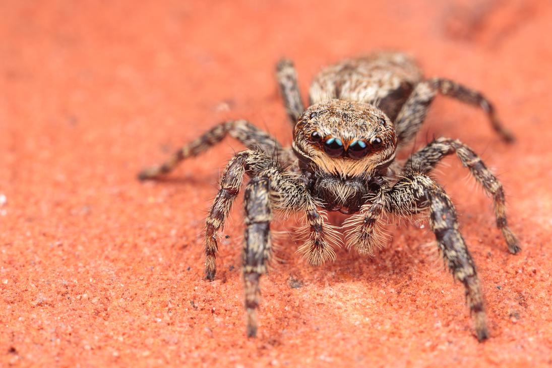 IMAGE: http://th07.deviantart.net/fs71/PRE/i/2013/156/d/a/jumping_spider_by_snomanda-d67xzph.jpg