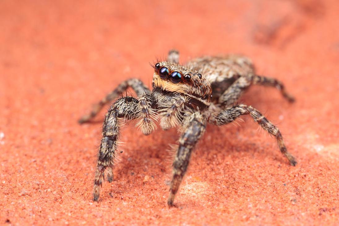 IMAGE: http://th04.deviantart.net/fs70/PRE/i/2013/157/b/b/jumping_spider_by_snomanda-d6811c7.jpg