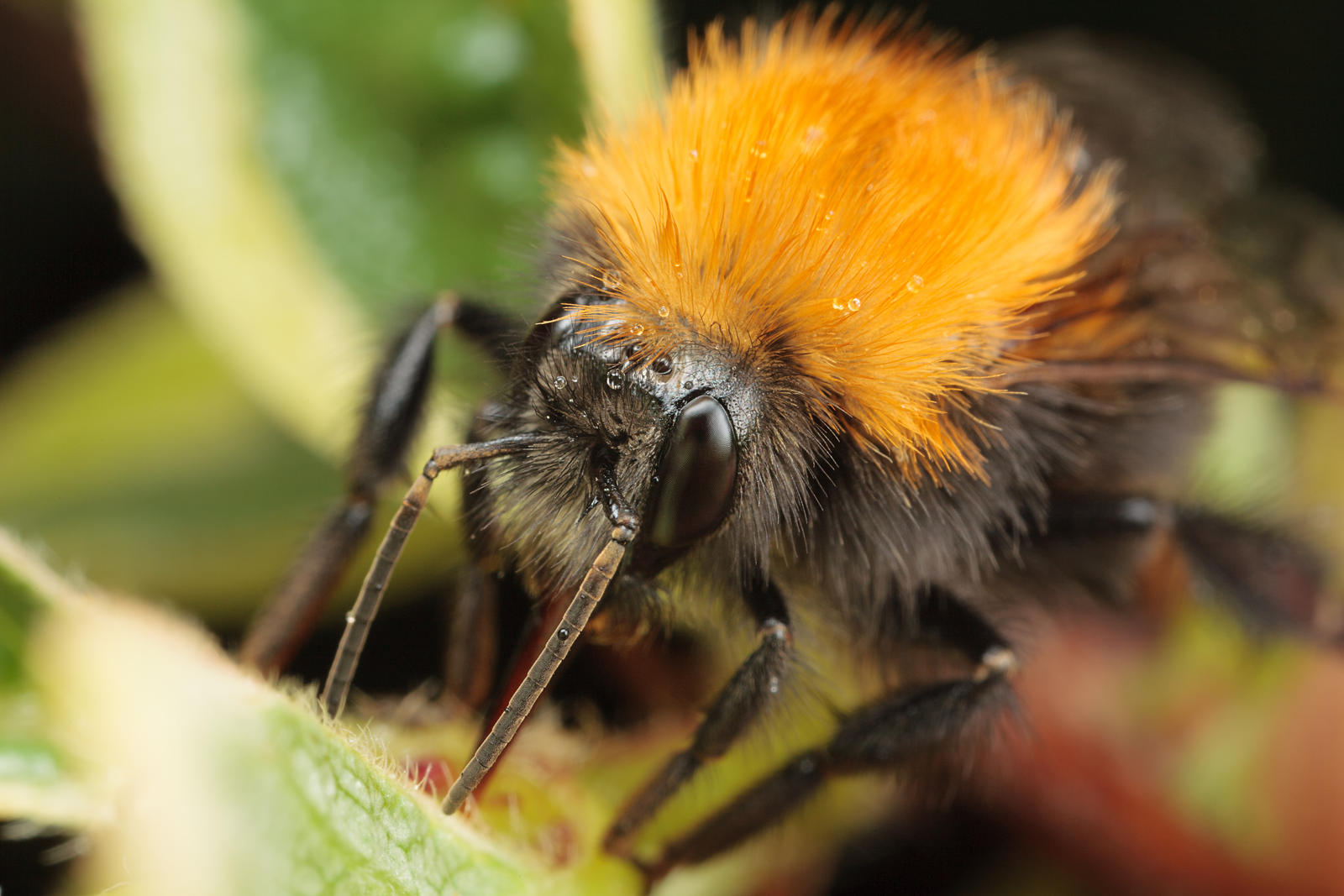 Common Carder-bee by snomanda