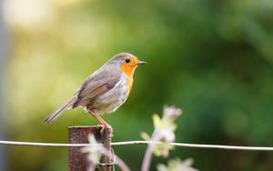 Robin by snomanda