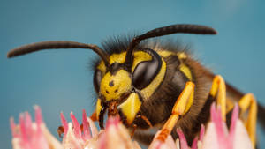 Common Wasp by snomanda