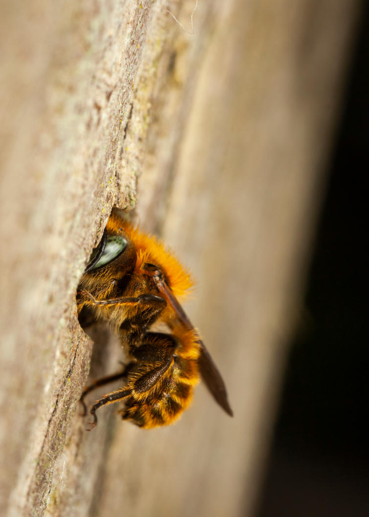 Blue Mason Bee by snomanda
