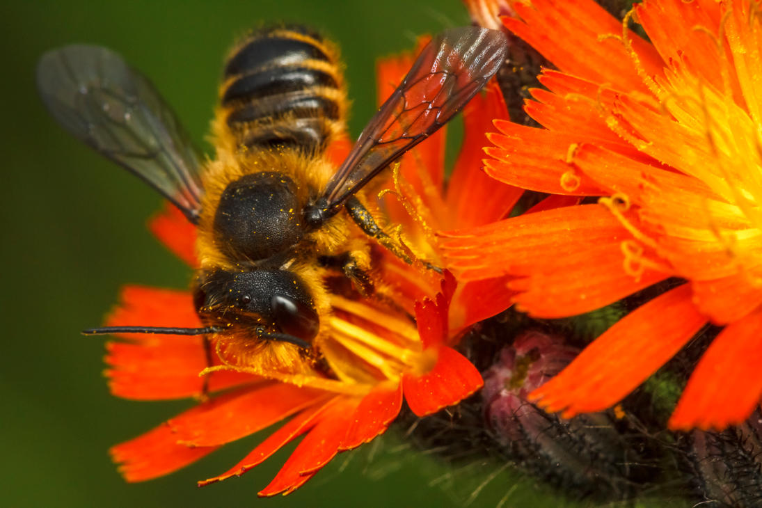 Leafcutter Bee by snomanda