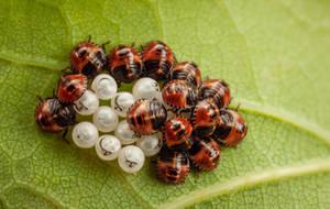 Green Shield Bug Nymphs by snomanda