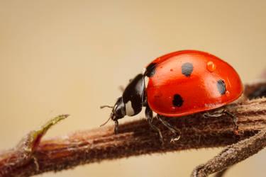 7-Spotted Ladybird by snomanda
