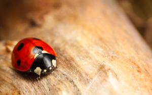 Seven-Spot Ladybird by snomanda