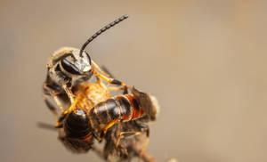Sweat Bees