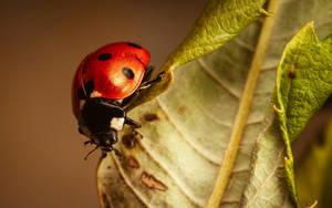 Ladybug by snomanda