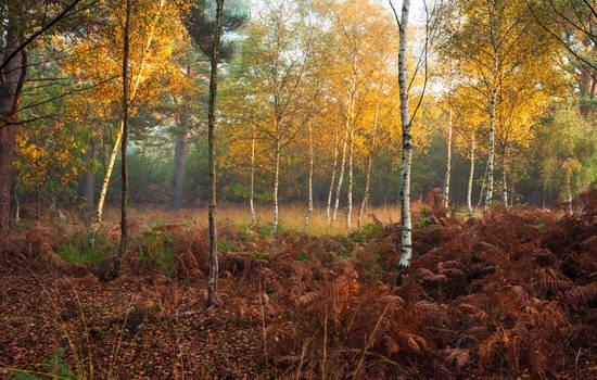 Birches by snomanda