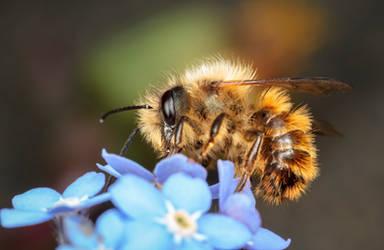 Red Mason Bee by snomanda