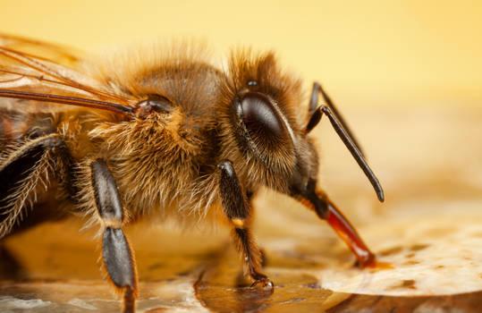 Honey Tongue