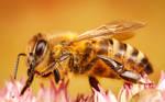 Wee Honey Bee