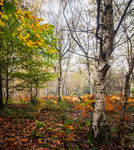 The Beech and the Birches