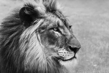 African Lion by KrisVlad