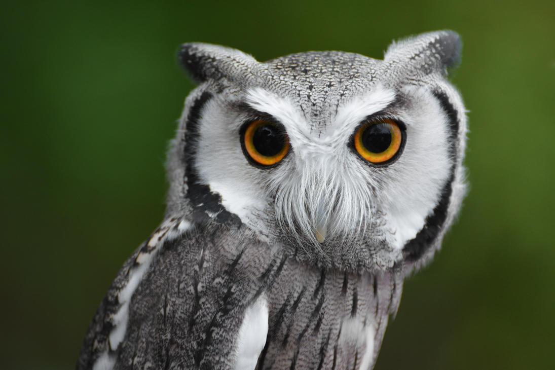 scops owl by krisvlad on deviantart