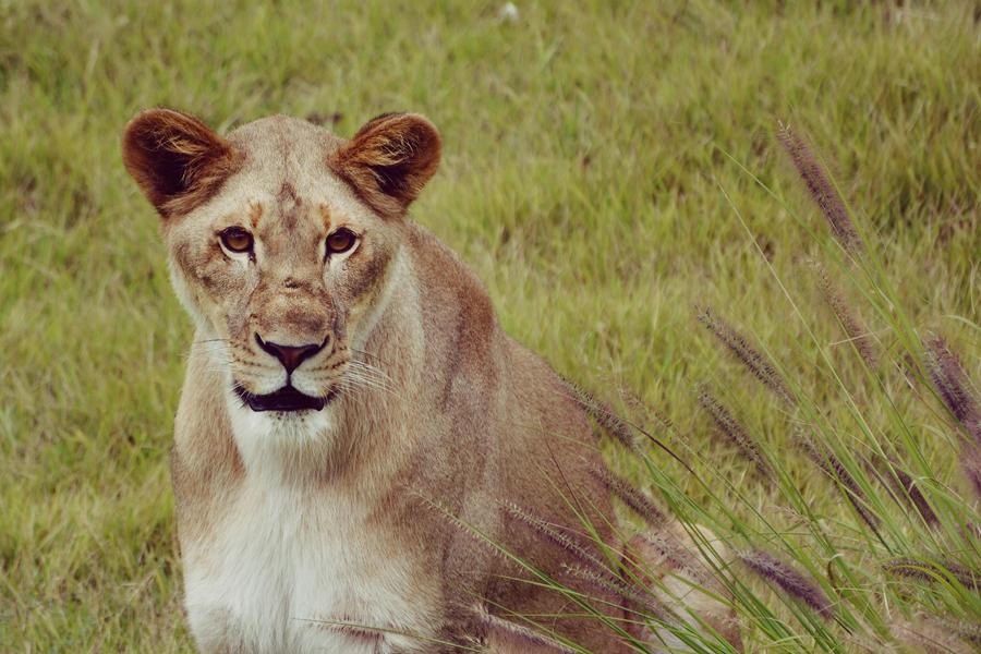 African Lioness by KrisVlad